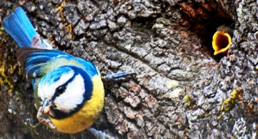 bluetit_tree_525