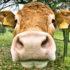 cow_virus_525