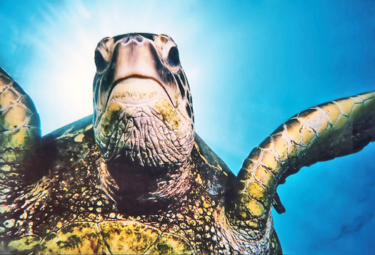 seaturtle_face_525