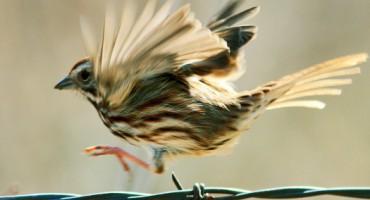 song_sparrow_525