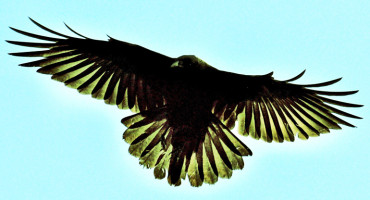 bird wingspan
