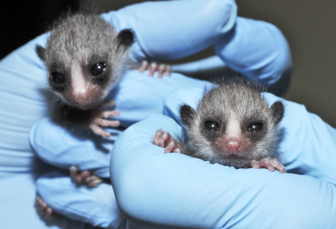 two baby lemurs