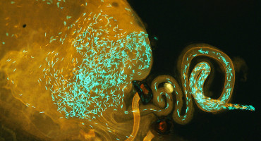 By working with fruit flies (D. mauritiana sperm heads in red and D. simulans sperm heads in green), researchers were able to see what happens when a female mates twice—once with her own species and once with a member of a related species. (Credit: Syracuse University)