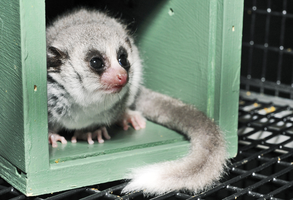 lemur in green box
