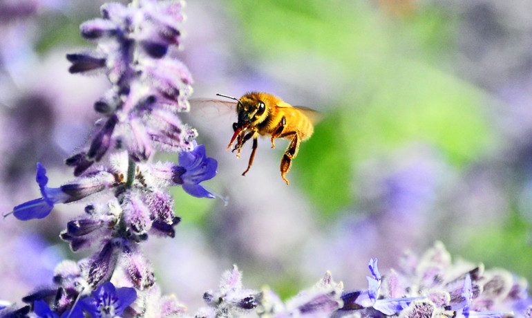 """""""Bees are living proof that it's possible to engineer airborne vehicles that are agile, navigationally competent, weigh less than 100 milligrams, and can fly around the world using the energy given by an ounce of honey,"""" says Mandyam Srinivasan. (Credit: Brian Hoffmann/Flickr)"""