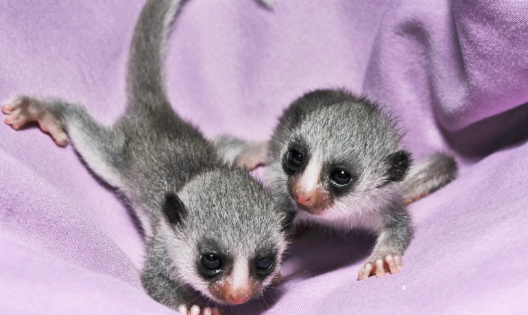 pair of baby lemurs