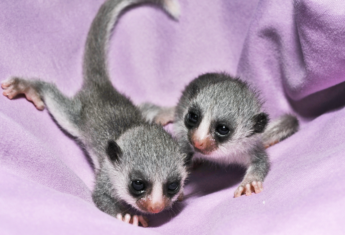 pair of baby lemurs