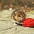 mouse eating berry