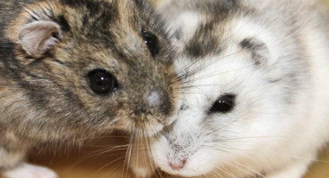 The Siberian hamster on the left is in the summer breeding condition; the hamster on the right is in the winter non-breeding condition. (Credit: Tyler Stevenson)