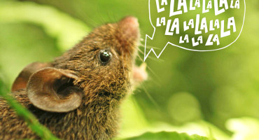 """""""Most people are puzzled by the existence of singing mice, but in reality many rodents produce complex vocalizations, including mice, rats, and even pet hamsters,"""" says Bret Pasch. (Credit: Photo by Bret Pasch/Illustration by Jenna Luecke)"""