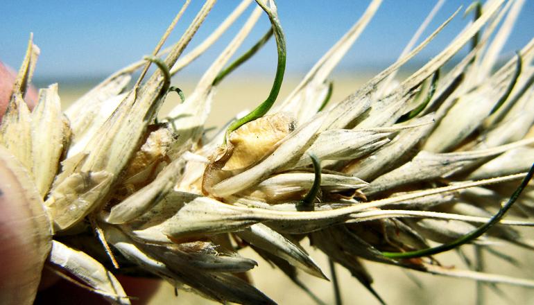 bad wheat