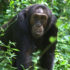 A male chimpanzee in Budongo Forest, Uganda. (Credit: Katie Slocombe)