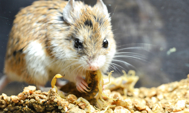 Grasshopper mice are essentially numb to the pain, scientists have found, because the scorpion toxin acts as an analgesic rather than a pain stimulant. (Credit: Ashlee Rowe)