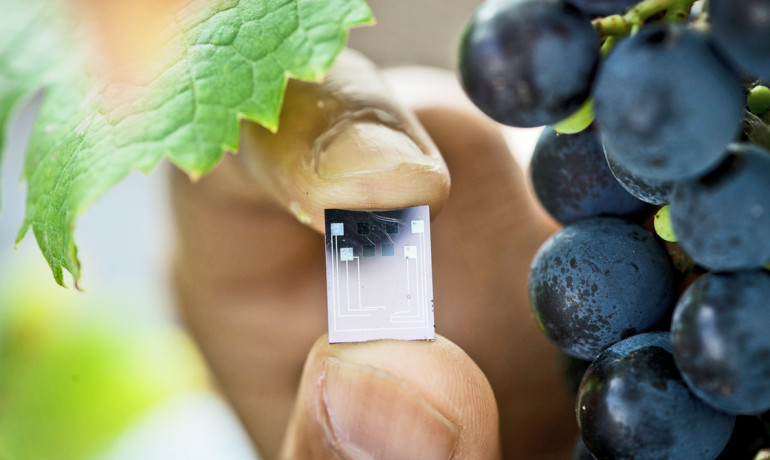 "Vinay Pagay holds a ""lab on a chip"" that measures moisture levels in soil and plants stems. The tiny sensor is much smaller and a hundred times more sensitive than current devices. (Credit: Jason Koski)"