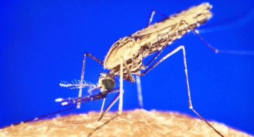 """To stop the spread of malaria, a disease that annually kills more than 660,000 people around the world, Gregory Lanzaro says, """"it is critical that we understand the movement of genes between these two forms of the African malaria mosquito."""" (Credit: CDC/Wikimedia Commons)"""