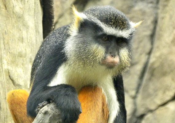 A study of Old World monkeys and apes shows species that live in larger (more social) groups have faces with more complex color patterns than those that live in smaller groups. (Credit: Karen/Flickr)