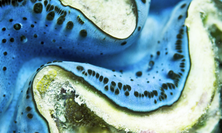 """What we thought was one breeding group has turned out to be two, making each species even less abundant than previously thought,"" says Jude Keyse. (Credit: ""giant clam"" via Shutterstock)"