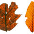 """Attempts to restore precontact environments have been unsuccessful when the effects of milldams were not considered. Understanding the past forest makeup may provide a way to help get a successful and useful reconstruction,"" says Sara J. Elliott. Above, Red Oak and American Beech leaves from the Denlinger Mill site. (Credit: Wilf Lab/Penn State, font by Vernon Adams)"