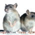 Sons of male rats on cocaine were not only less likely to want the drug, but also resistant to its effects when they were given it. (Credit: iStockphoto)