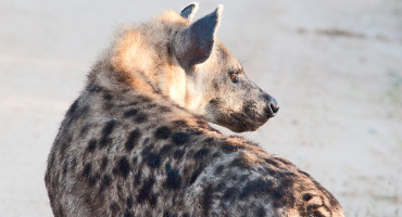 """""""Hyenas can leave a quick, detailed message and go. It's like a bulletin board of who's around and how they're doing,"""" says Kevin Theis. (Credit: Chris Eason/Flickr)"""