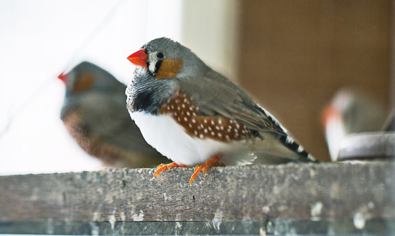 Researchers find that though the genetically manipulated male zebra finches had already learned how to sing, their ability to hit the right note repeatedly in the presence of a female was subpar. This indicates that in songbirds, the gene FoxP2 has an ongoing role in vocal control separate from a role in learning, a distinction that has not been possible to make in humans with FOXP2 mutations. (Credit: Slvl/Flickr)