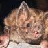 Close-up of a common vampire bat. (Credit: Daniel Streicker)