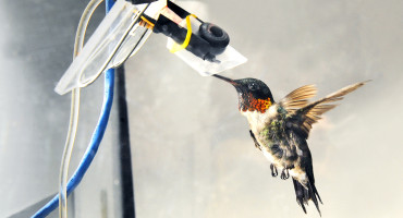 """What's very surprising is that unlike mammals such as humans, who can't rely on fructose to power much of their exercise metabolism, hummingbirds use it very well. In fact, they are very happy using it and can use it just as well as glucose,"" says Kenneth Welch. (Credit: University of Toronto Scarborough)"