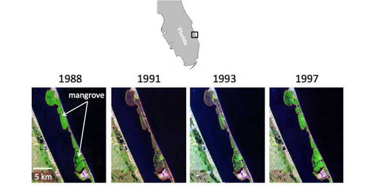 A very harsh winter in 1989 caused mortality in mangroves and damaged citrus crops. Satellite images show how mangroves rebounded when they were no longer threatened by cold snaps. (Credit: Kyle Cavanaugh/James Kellner)