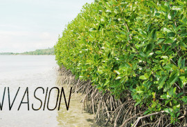 "Florida's climate has seemingly led to significant changes along hundreds of miles of coastline. ""The expansion isn't happening in a vacuum,"" says Kyle Cavanaugh. ""The mangroves are expanding into and invading salt marsh, which also provides an important habitat for a variety of species."" (Credit: ""mangrove"" via Shutterstock, font by Tyler Finck/FontSquirrel)"