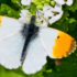 The orange-tip butterfly occurs from the southern tip of England to northern parts of Scotland, and is often seen in gardens. This species expanded its distribution in response to climate warming from the 1970s to the 1990s, however in recent years it has suffered from negative abundance trends and has failed to expand its distribution. (Credit: Peter Eeles/Butterfly Conservation)
