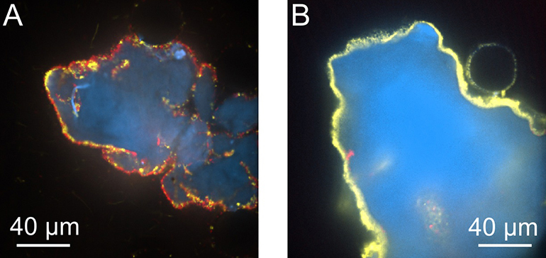 In microscope images, shiftless V. cholerae (red) were in abundance under conditions of no fluid flow (left image). When the bacteria were grown in an environment with fluid flow — similar to that found in nature — cooperative V. cholerae (yellow) won out (right image). (Credit: Carey Nadell, Department of Molecular Biology)