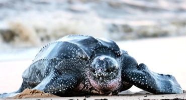 "Living leatherback turtles, Dermochelys, have almost entirely black backs. ""Similarly, mosasaurs and ichthyosaurs, which also had worldwide distributions, may have used their darkly colored skin to heat up quickly between dives,"" says Johan Lindgren. (Credit: ""leatherback turtle"" via Shutterstock)"