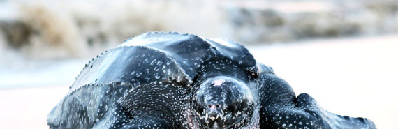 """Living leatherback turtles, Dermochelys, have almost entirely black backs. """"Similarly, mosasaurs and ichthyosaurs, which also had worldwide distributions, may have used their darkly colored skin to heat up quickly between dives,"""" says Johan Lindgren. (Credit: """"leatherback turtle"""" via Shutterstock)"""