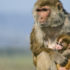 The researchers intend to continue their research on the two groups of monkeys throughout their lives to see if the adverse immune and lung function impacts persist. (Credit: K. West/California National Primate Research Center)
