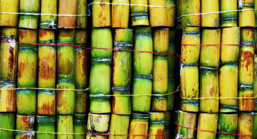 """The process we used has identified a potential biofertilizer for Queensland sugarcane, and a useful method for developing bacterial biofertilizers that could work in other parts of the world on different varieties of sugarcane,"" says  Chanyarat Paungfoo-Lonhienne. (Credit: Rod/Flickr)"