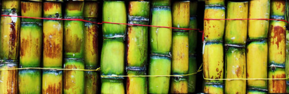 """""""The process we used has identified a potential biofertilizer for Queensland sugarcane, and a useful method for developing bacterial biofertilizers that could work in other parts of the world on different varieties of sugarcane,"""" says  Chanyarat Paungfoo-Lonhienne. (Credit: Rod/Flickr)"""