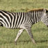 """A new bacteriophage discovered in the carcass of a zebra in Africa is unusually large, with a giant head, a long tail, and a large genome, and is a """"voracious predator"""" of the anthrax bacterium.(Credit:William Warby/Flickr)"""