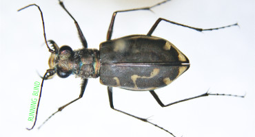 "The experiment revealed that for fast-moving tiger beetles, ""eyes are not sufficient or necessary to avoid obstacles,"" Cole Gilbert says. ""The antennae are held extremely rigid with the tips 1.5 millimeters off the ground, so they would potentially pick up any discontinuity in the surface."" (Credit: Cody Hough/Flickr)"
