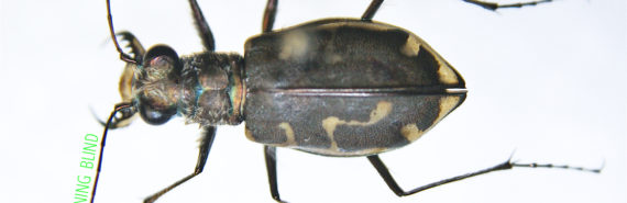 """The experiment revealed that for fast-moving tiger beetles, """"eyes are not sufficient or necessary to avoid obstacles,"""" Cole Gilbert says. """"The antennae are held extremely rigid with the tips 1.5 millimeters off the ground, so they would potentially pick up any discontinuity in the surface."""" (Credit: Cody Hough/Flickr)"""