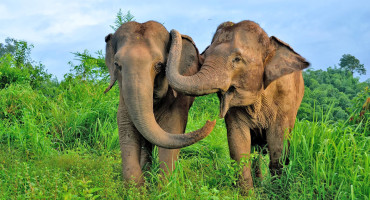 """""""Elephants get distressed when they see others in distress, reaching out to calm them down, not unlike the way chimpanzees or humans embrace someone who is upset,"""" says Frans de Waal. (Credit: Emory University)"""