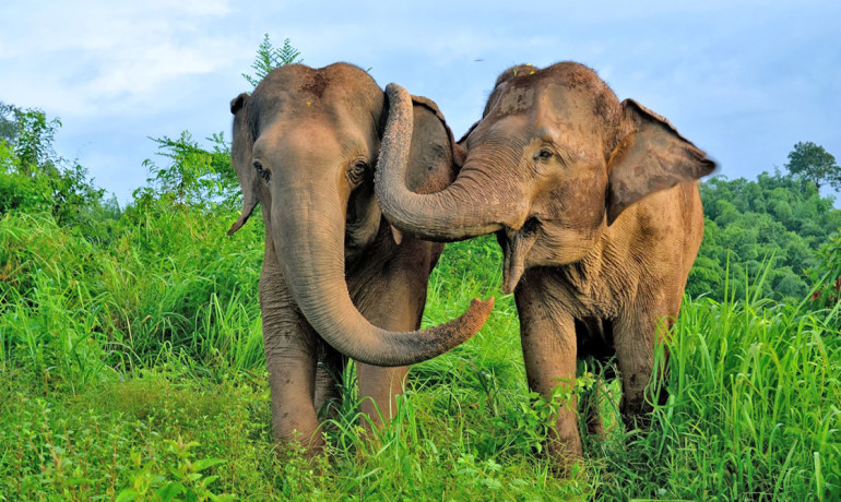 """Elephants get distressed when they see others in distress, reaching out to calm them down, not unlike the way chimpanzees or humans embrace someone who is upset,"" says Frans de Waal. (Credit: Emory University)"