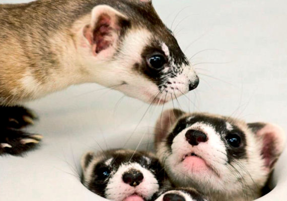 """""""An alarming finding of our study is that there are few prairie dog complexes left that are large enough to support black-footed ferret populations given the severe threats they face—especially plague,"""" says Kevin Shoemaker. (Credit: USFWS Mountain-Prairie/Flickr)"""