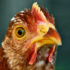 """Researchers report that the unusual arrangement of cells in a chicken's eye constitutes the first known biological occurrence of a potentially new state of matter known as """"disordered hyperuniformity,"""" which has been shown to have unique physical properties. (Credit: Johnathan Nightingale/Flickr)"""