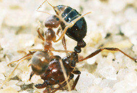 A crazy ant (left) attacks a larger fire ant (right). Scientists have just discovered that invasive crazy ants can neutralize the venom of the red imported fire ant. (Credit: Lawrence Gilbert/© Science)