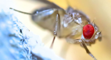 Researchers studying two different type of foraging fruit flies found that rover flies, which are very active foragers as larvae, dispersed farther and more frequently than sitter flies, which are less active foragers. By artificially inducing higher levels of the foraging gene in sitters, the flies dispersed like rovers. (Credit: Bent Tranberg/Flickr)
