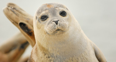 DNA samples from harbor seals stranded on Dutch beaches sugggest that inbred individuals were more likely to suffer from lung parasite infection. (Credit: Oliver Krüger)
