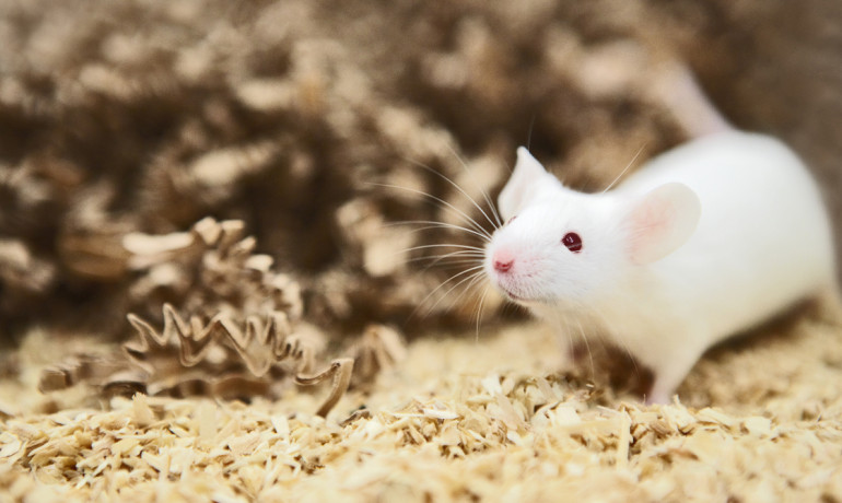 """The fact that we can give a mouse an injection and two weeks later shine a light on its paw to change the way it senses pain is very powerful,"" Shrivats Iyer says. (Credit: Novartis AG/Flickr)"