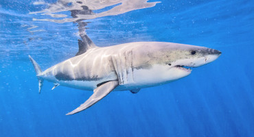 """When sudden increases in shark attacks occur, usually human factors are involved that promote interactions between sharks and people,"" says George Burgess. ""Shark populations are not in a growth phase by any means, so a rise in the number of sharks is not to blame."" (Credit: Ken Bondy/Flickr)"