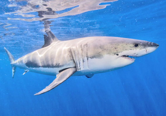 """""""When sudden increases in shark attacks occur, usually human factors are involved that promote interactions between sharks and people,"""" says George Burgess. """"Shark populations are not in a growth phase by any means, so a rise in the number of sharks is not to blame."""" (Credit: Ken Bondy/Flickr)"""