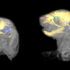 In mice with Apert syndrome, researchers used 3D imaging techniques to analyze changes in soft tissues (gray), the skull (yellow), inner ear (purple), nasopharynx (pink), and globe of the eye (green). The image on the left is a mouse at embryonic day 17.5 and on the right on day of birth. (Credit: Susan Motch Perrine)